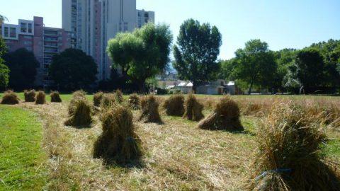 Semer des céréales en ville, l'idée qui germe